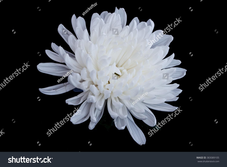 White Chrysanthemum Flower Isolated On Black Stock Photo Royalty