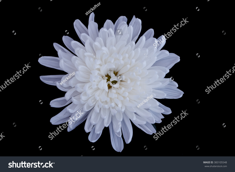 White Chrysanthemum Flower Isolated On Black Background Ez Canvas