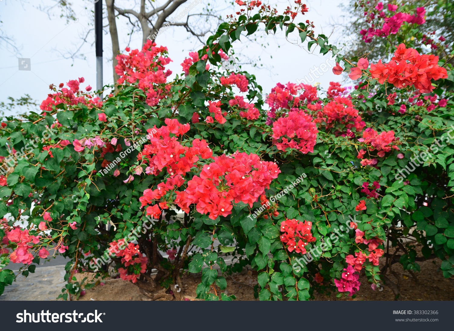 Flower Red Bougainvillea Nong Nooch Botanical Stock Photo (Royalty ...