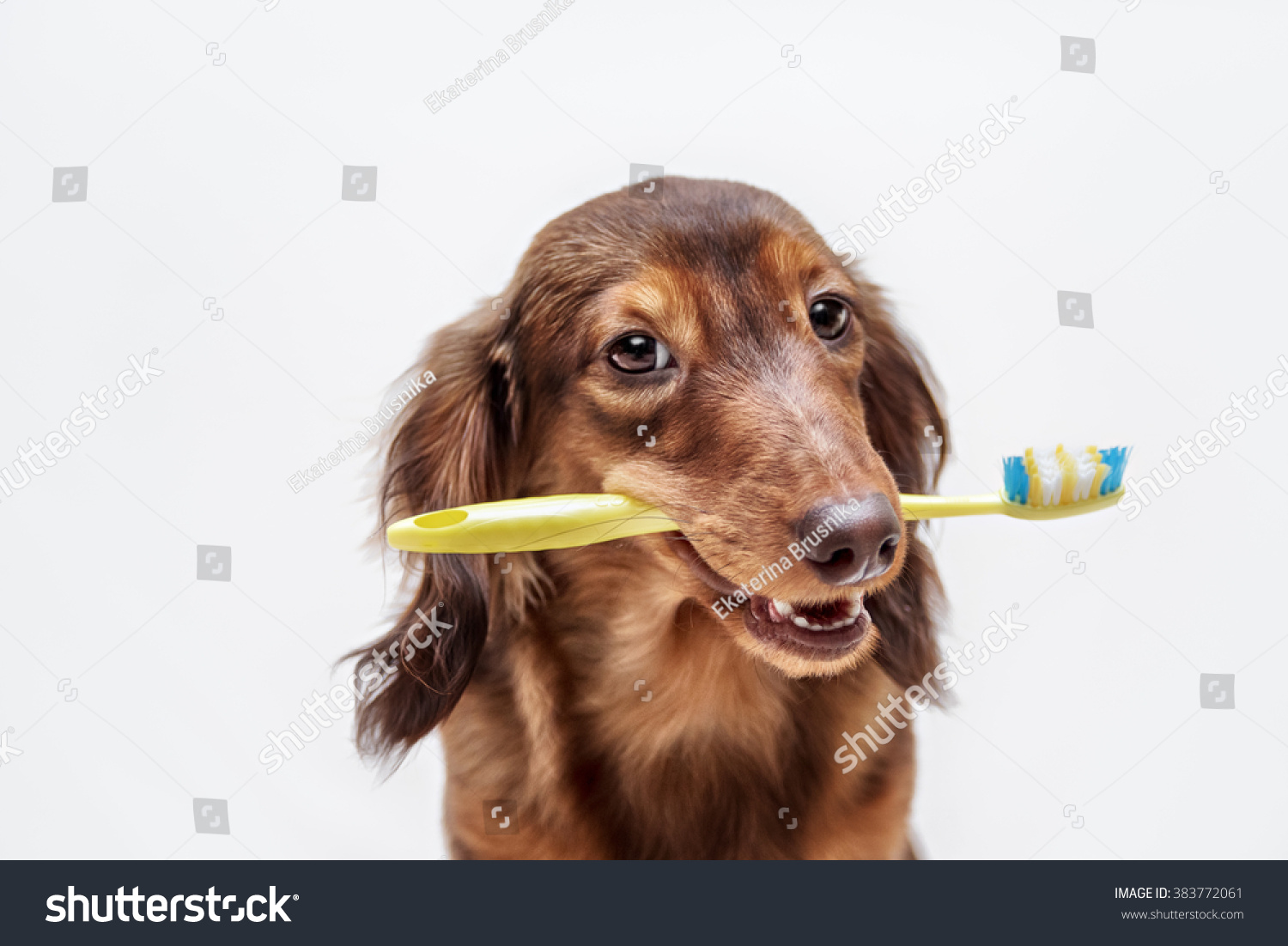 dachshund dog toothbrush on light background stock photo 383772061 shutterstock. Black Bedroom Furniture Sets. Home Design Ideas