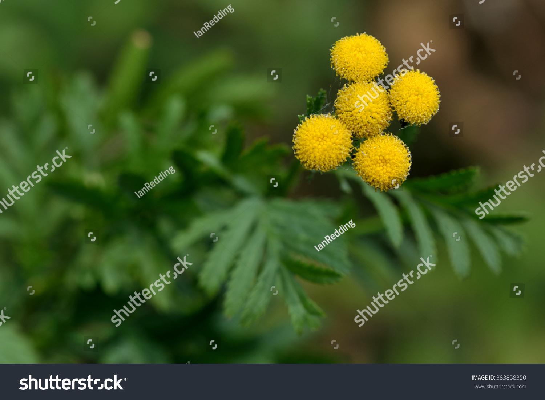 Tansy Tanacetum Vulgare Yellow Flowered Perennial Stock Photo Edit