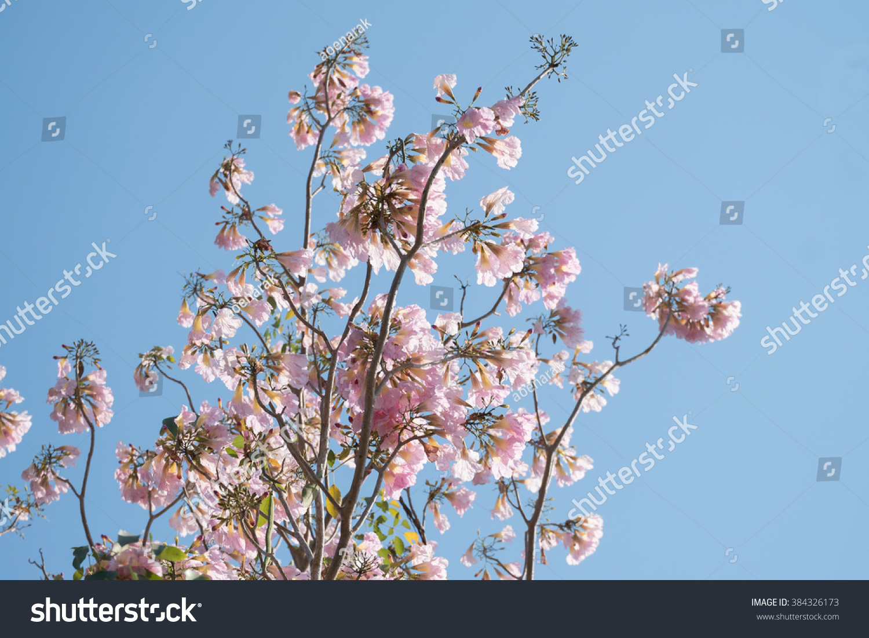 Pink Trumpet Tree With Blue Sky Sakura Flower Style Thailand Ez