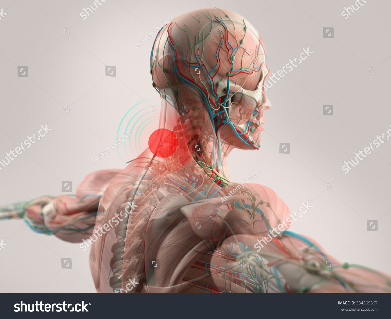 Anatomy Model Showing Neck Pain On Stock Illustration 384369367 ...