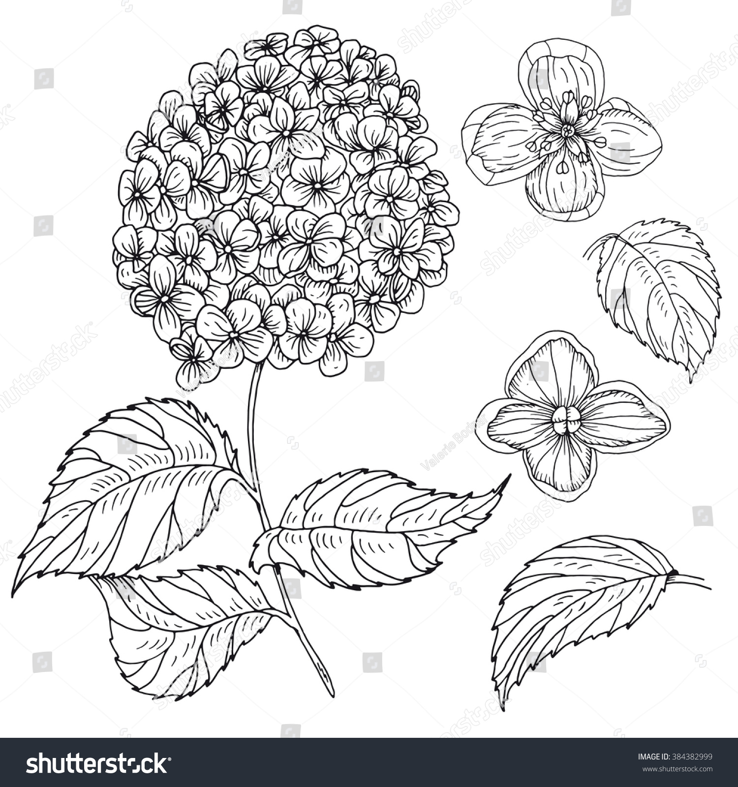 Hydrangea flower coloring pages - Hand Drawn Inky Hydrangea Branch Flowers And Leaves Monochrome Hydrangea Flower Isolated On White