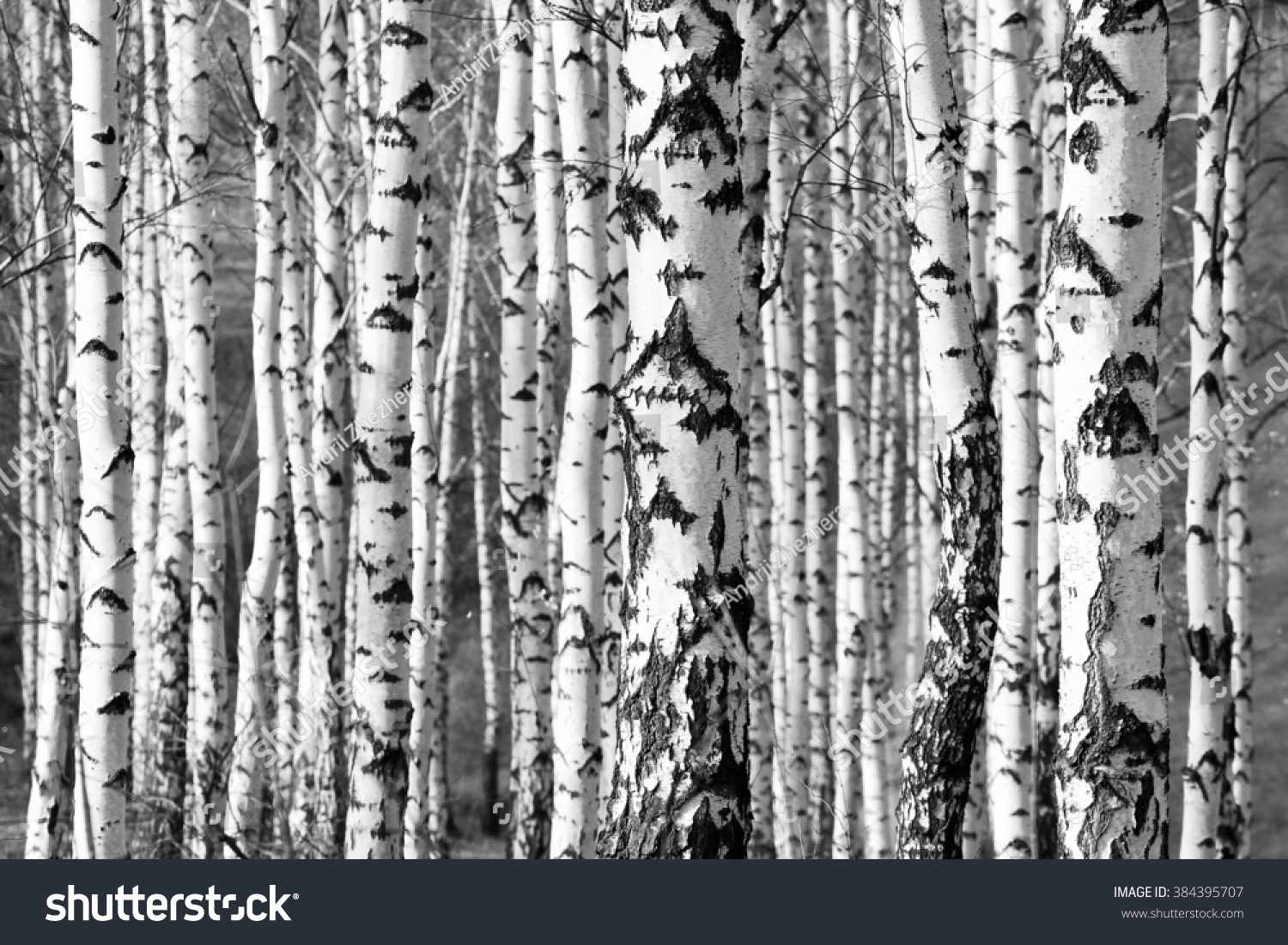 birch trees trunks - black and white natural background