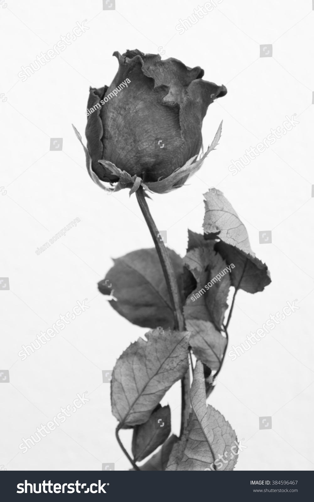 dried rose black-white style