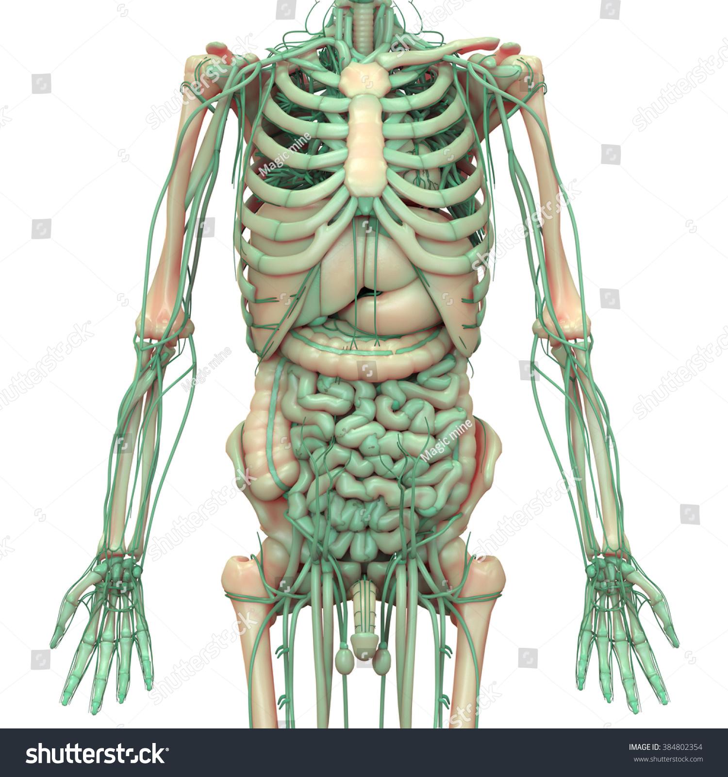 Human Body Anatomy Brain Lungs Heart Stock Illustration 384802354 ...