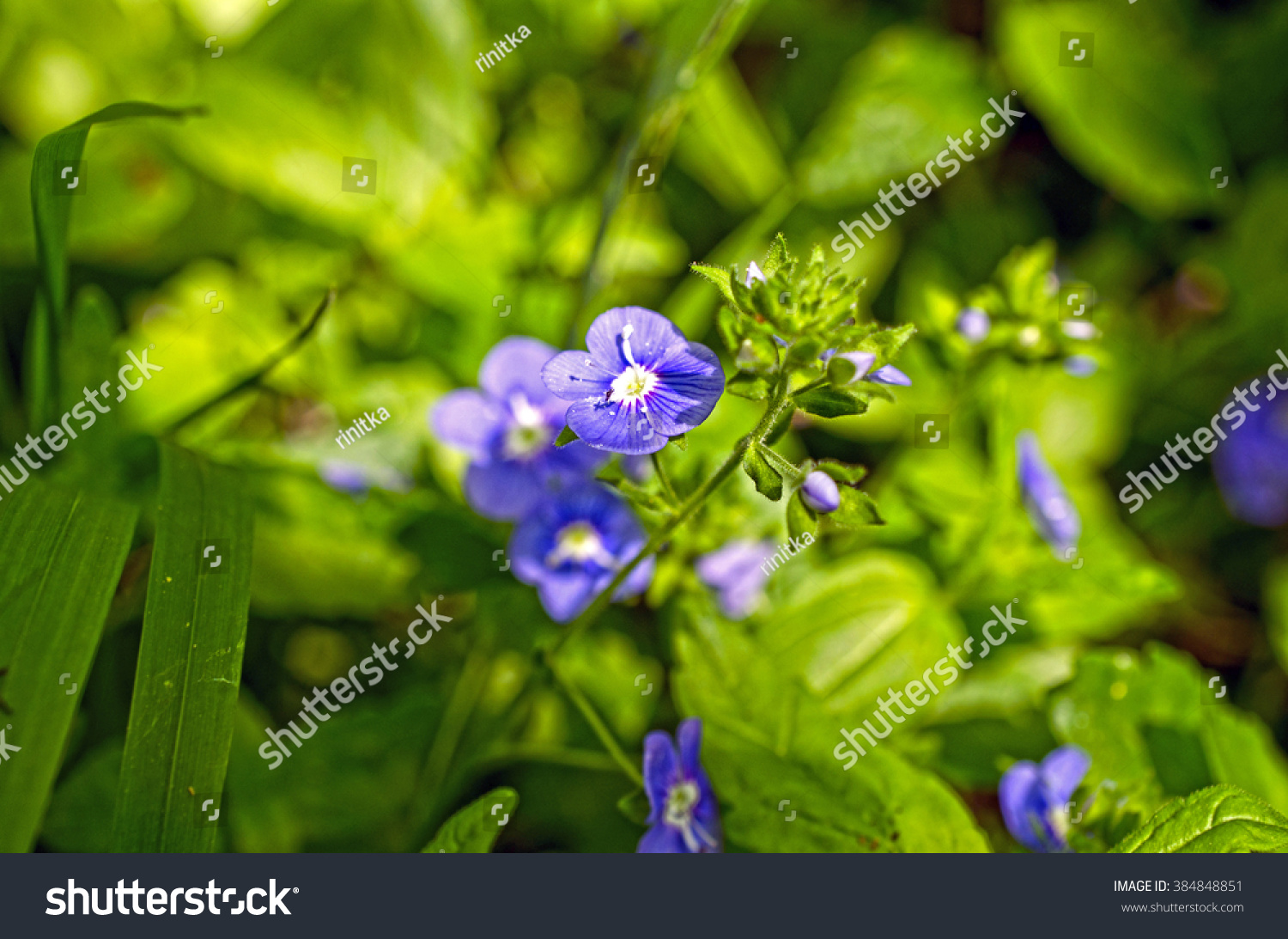 Close Green Grass Purple Flowers Spring Stock Photo Royalty Free