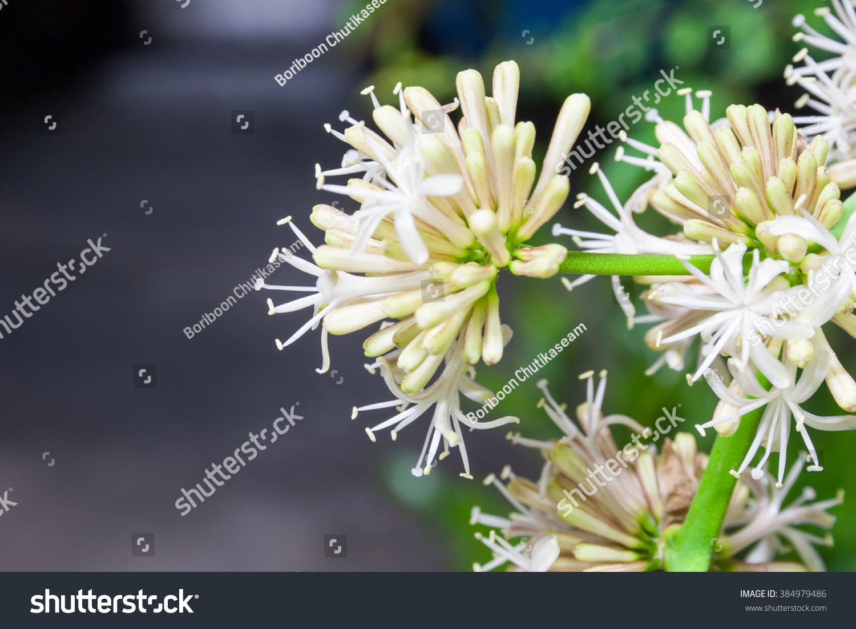 Blooming Dracaena Flower Night Stock Shutterstock