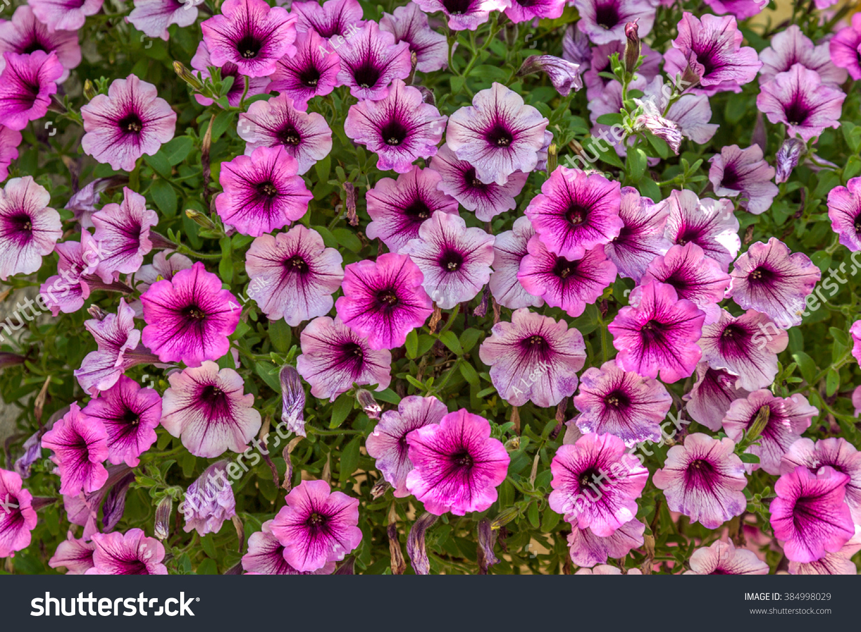 Big Beautiful Flower Petunia Bush Closeup Ez Canvas