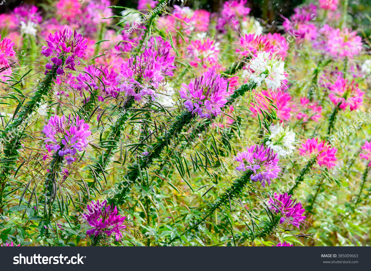 Pink And White Spider Flowercleome Hassleriana In The Garden For