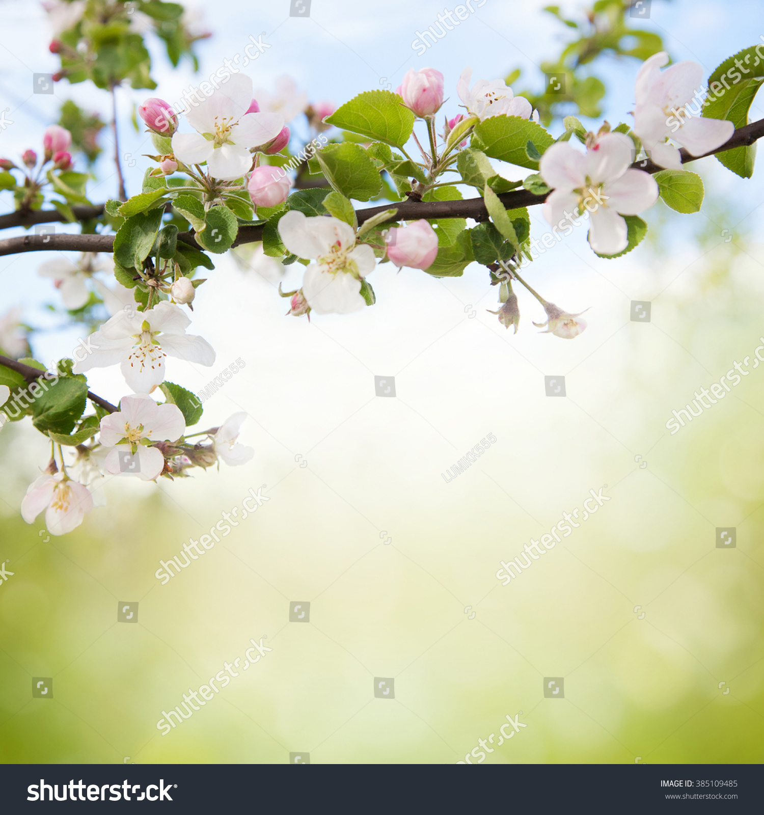 Nature Floral Background Of White Blooming Apple Tree Closeup Branch Flowers On Blurred