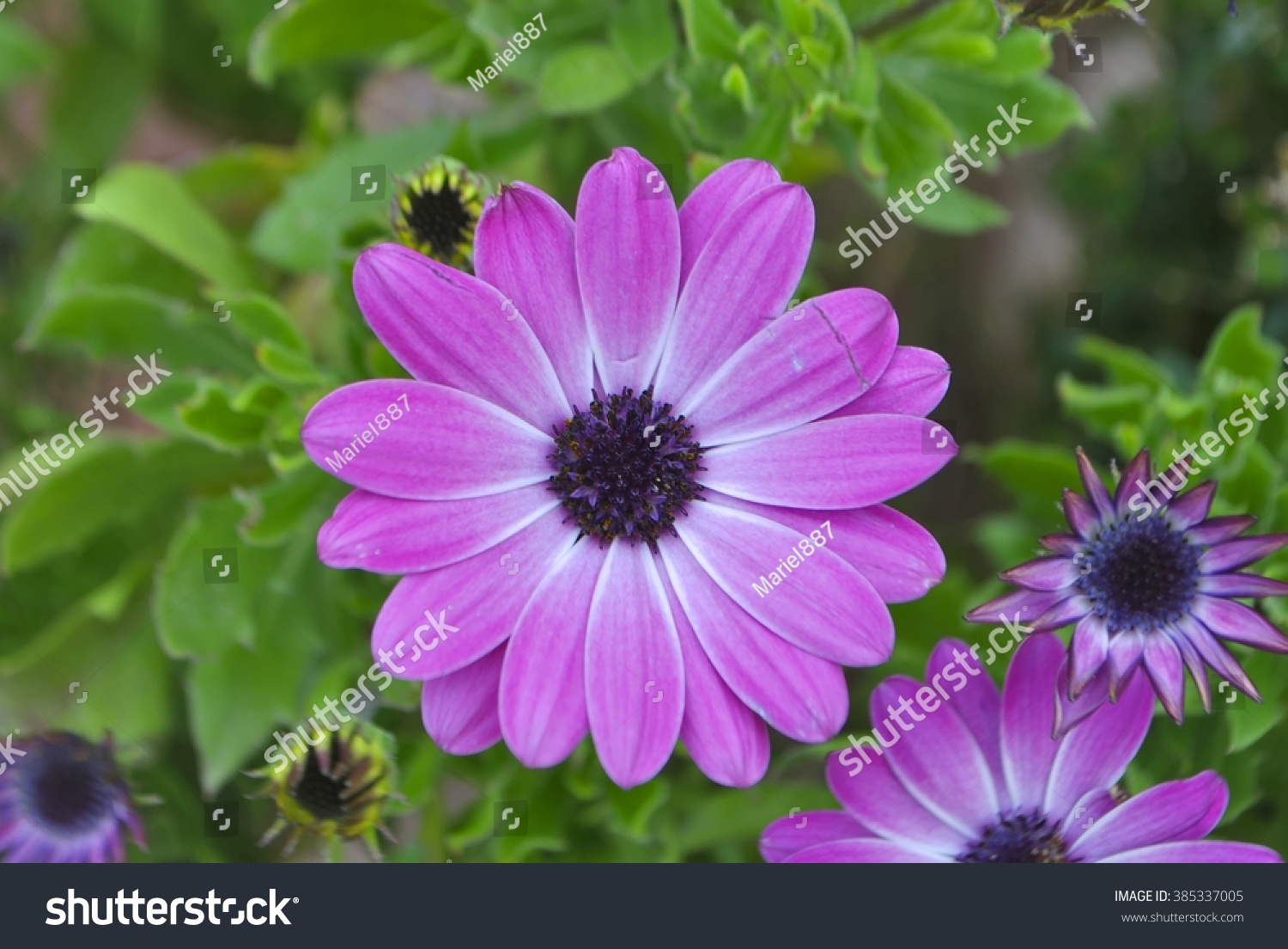 Some purple daisy flowers in the garden ez canvas id 385337005 izmirmasajfo