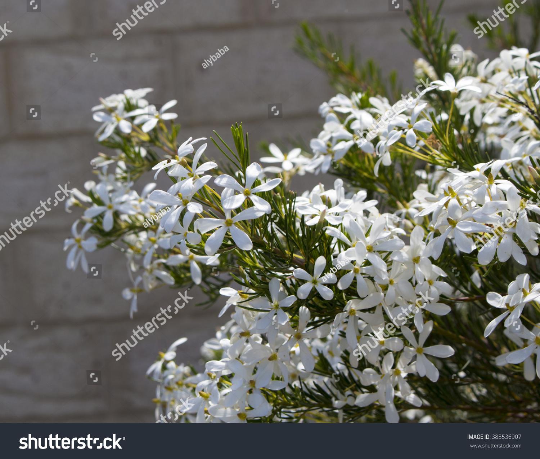 White four petalled fragrant … Stock Photo 385536907