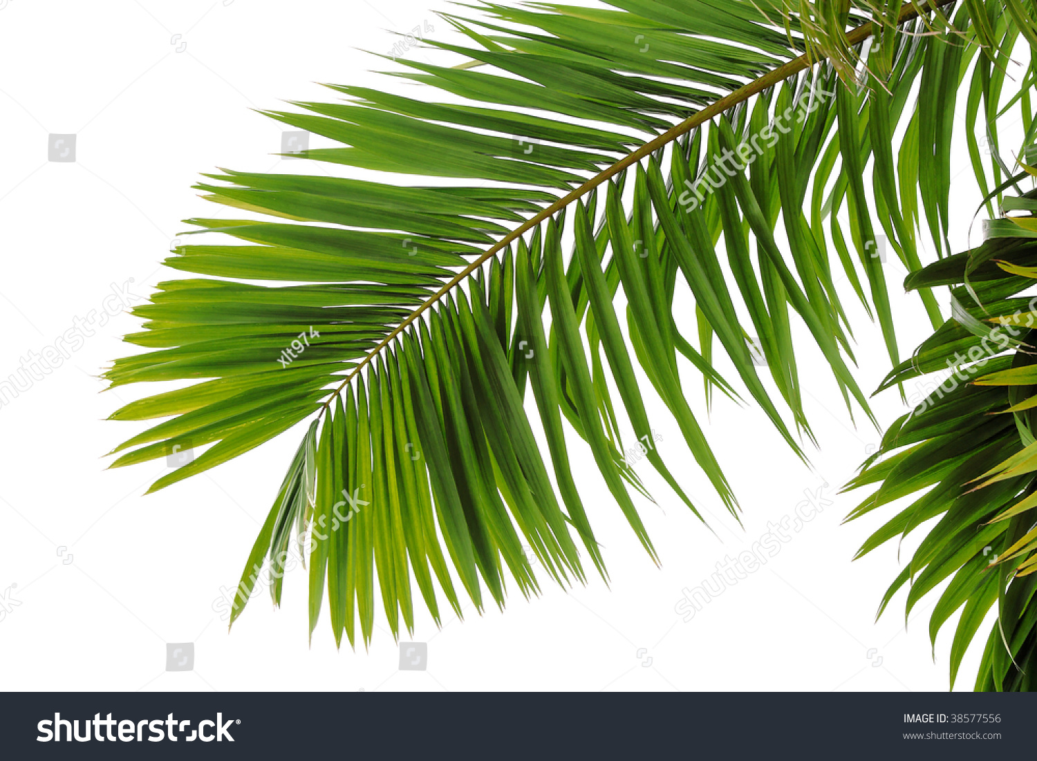 Green Coconut Tree Leaf On Beach Stock Photo 38577556 ...