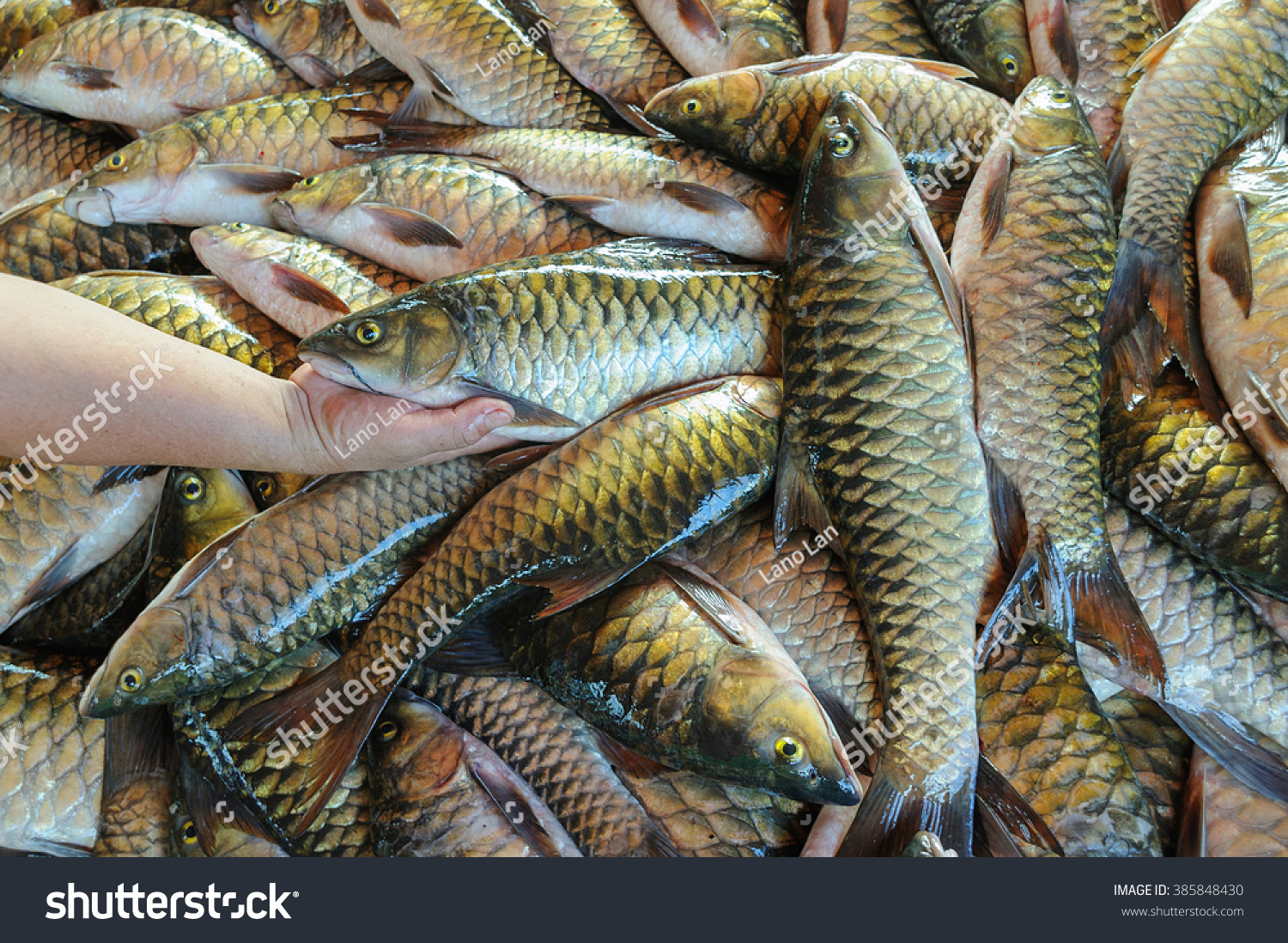 Freshwater fish in malaysia - Hand Holding Fresh Water Fish Called Malaysian Mahseer Or Kelah Or Pelian This Fish Is