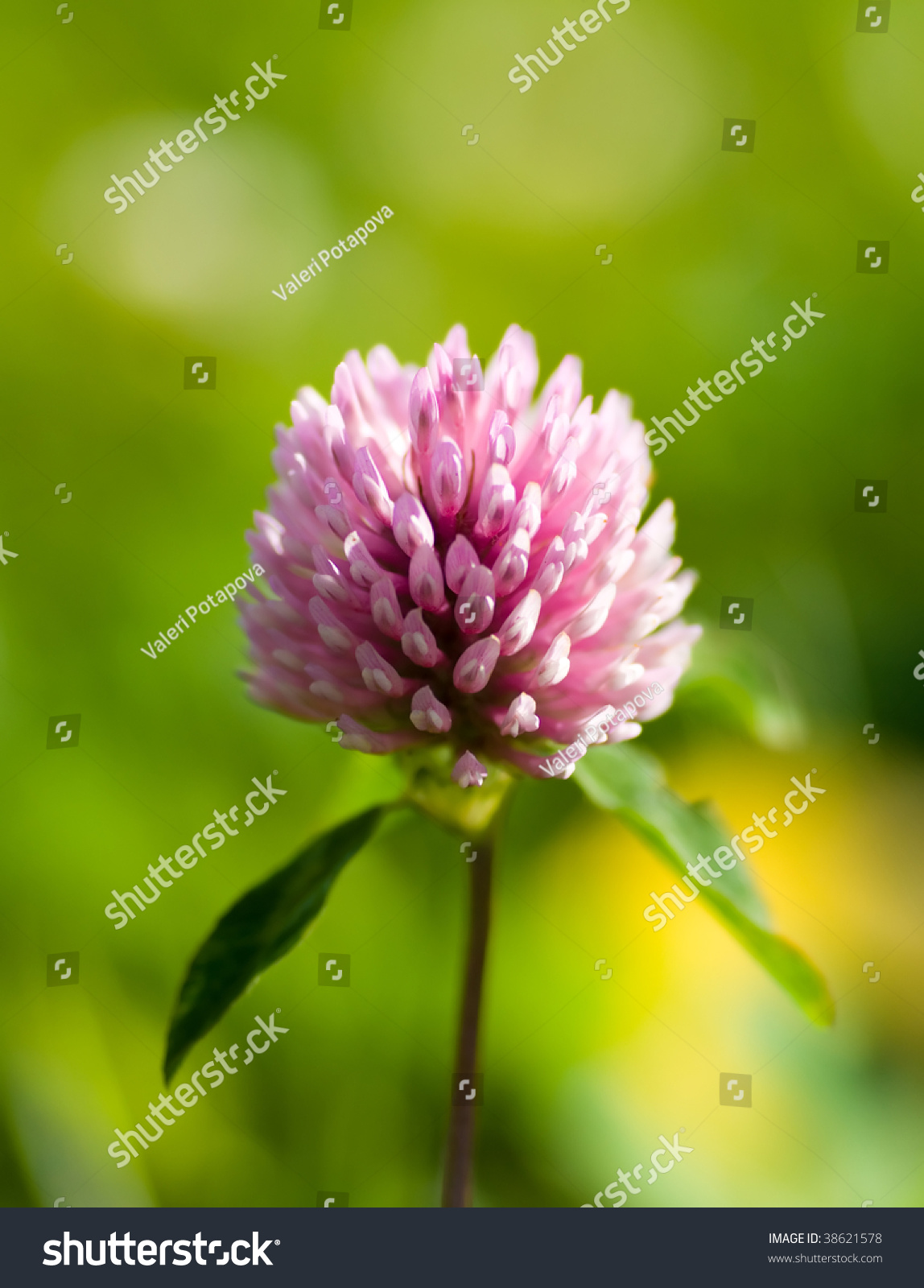 Purple Clover Flowers Green Grass Stock Photo Royalty Free