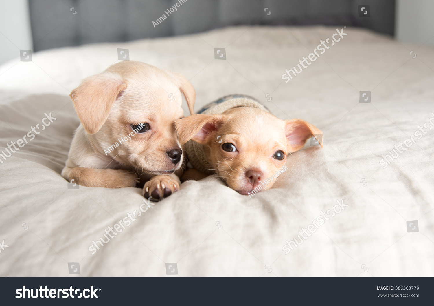 Tiny Chihuahua Puppies Falling Asleep On Stock Photo Edit Now 386363779