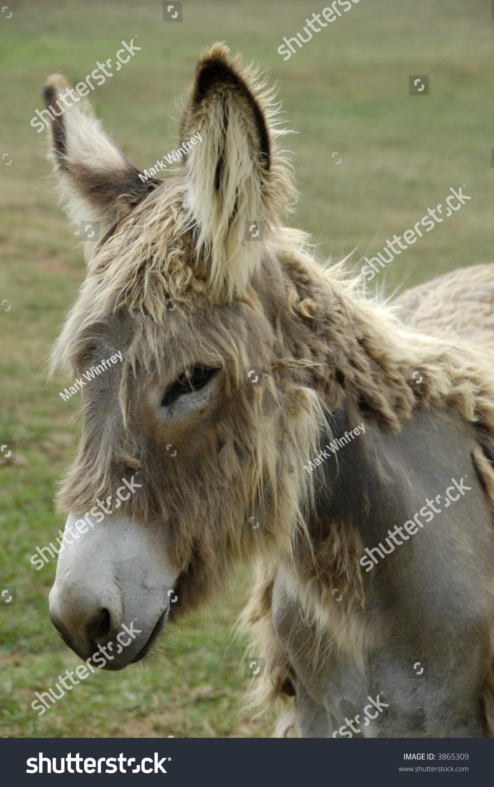 Shaggy Donkey Portrait