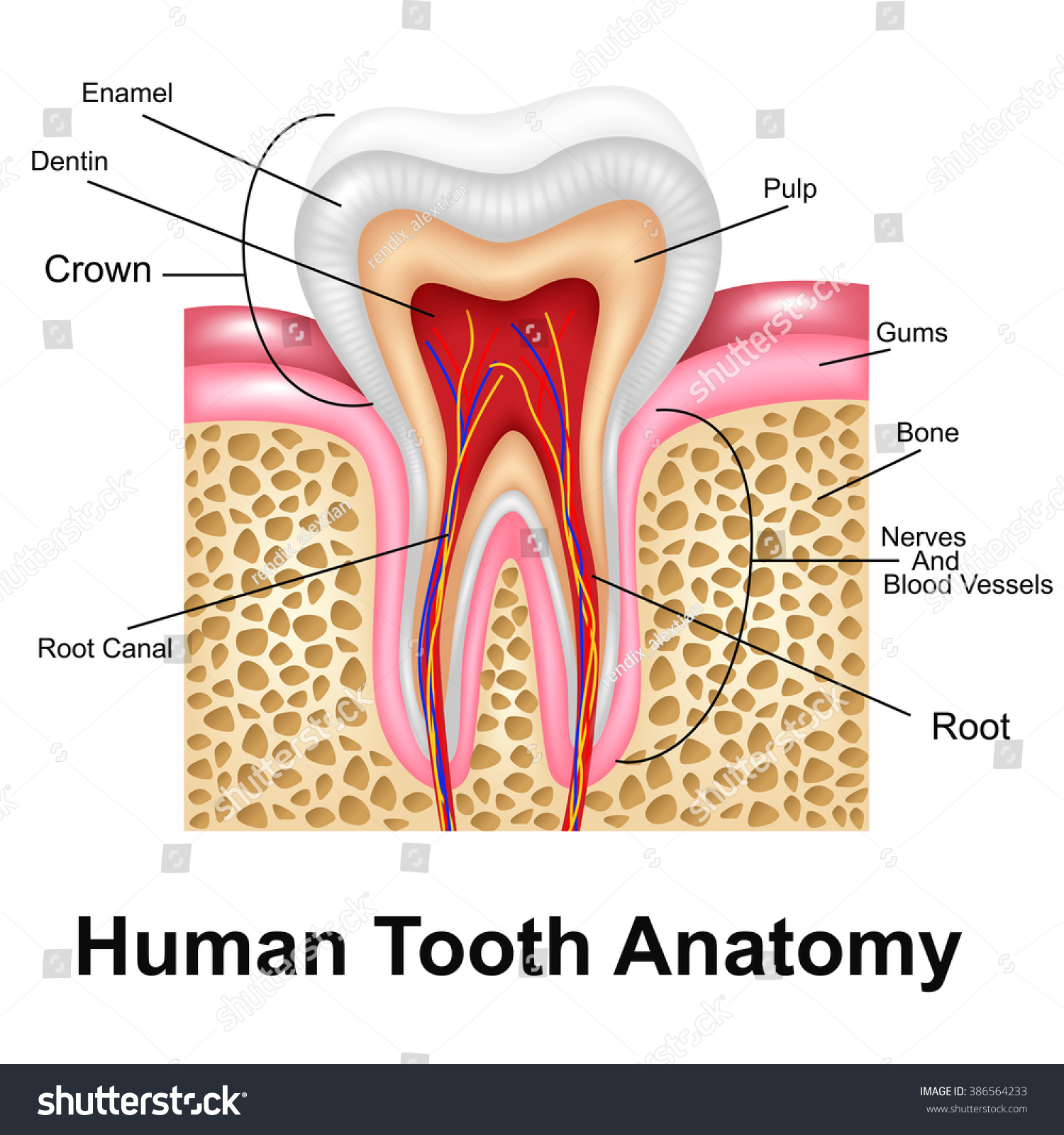 Human Tooth Detailed Anatomy Stock Illustration Royalty Free Stock
