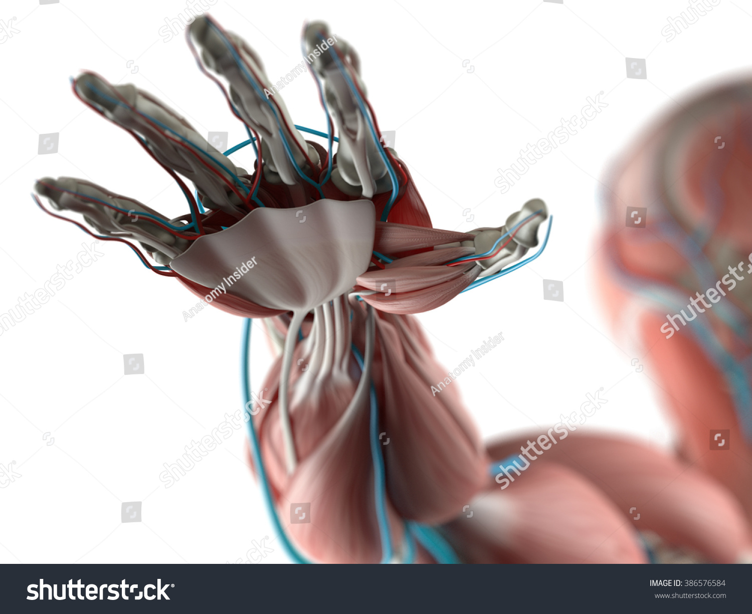Human Anatomy Hand Arm Muscular System Stock Illustration 386576584 ...