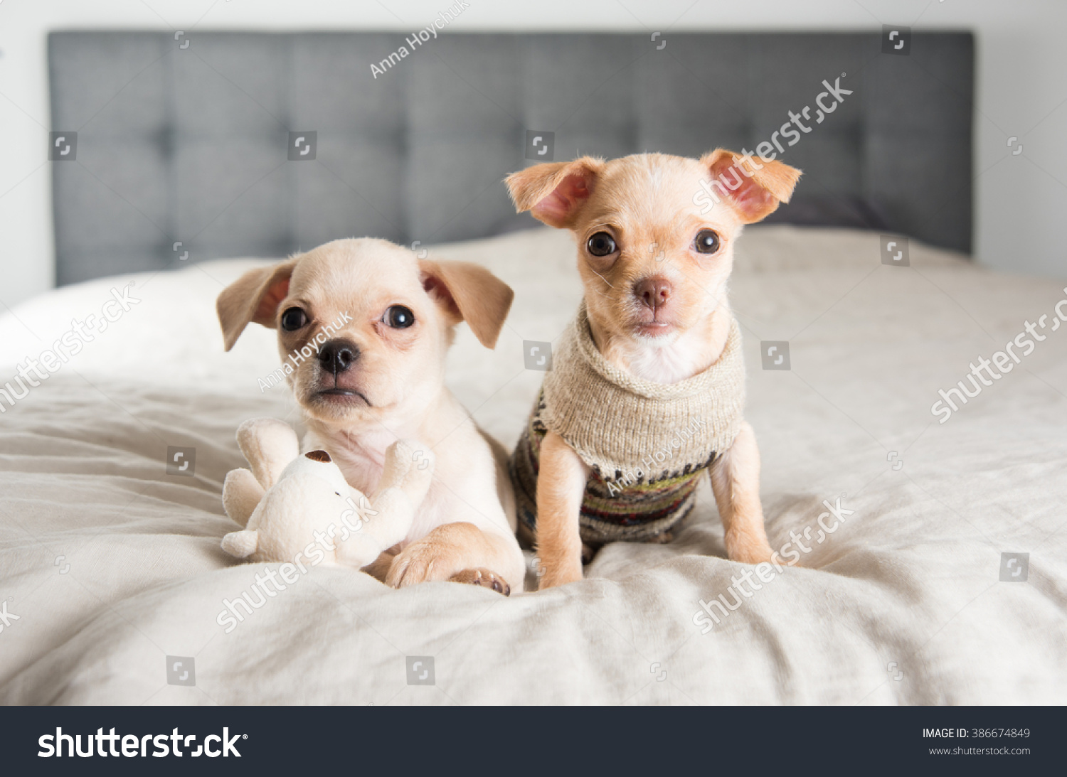 Tiny Chihuahua Puppies Playing Toy On Stock Photo Edit Now 386674849