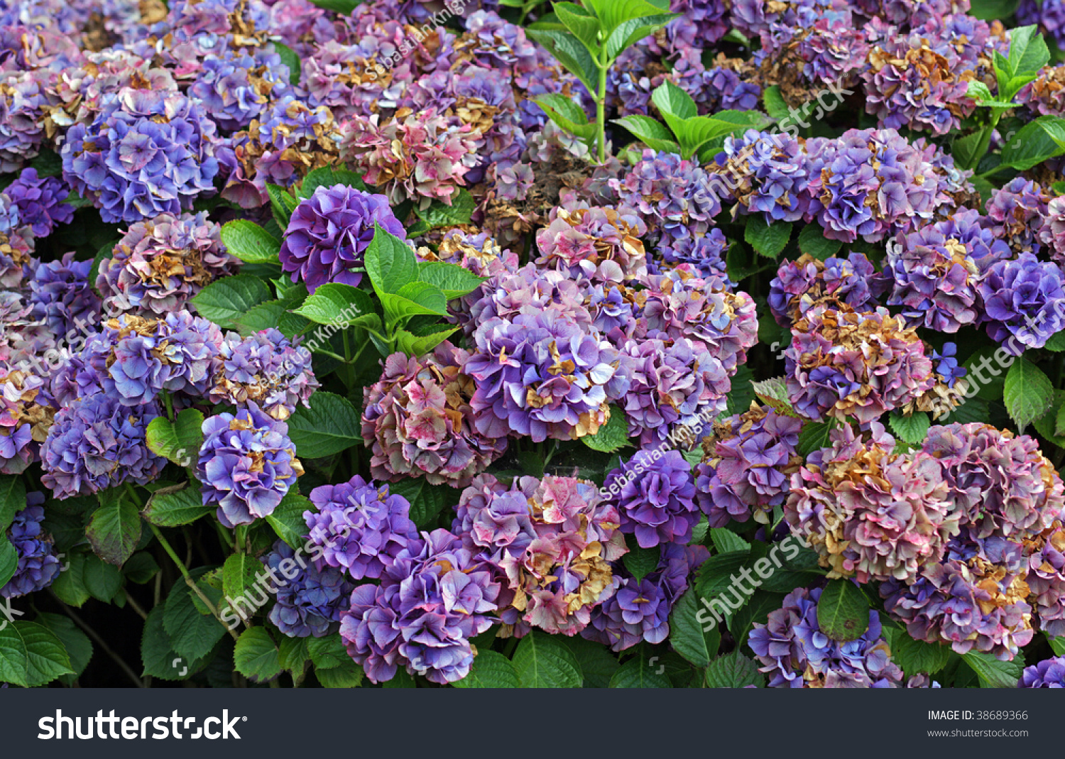 Hydrangea Bush Purple Flowers Stock Photo Edit Now 38689366
