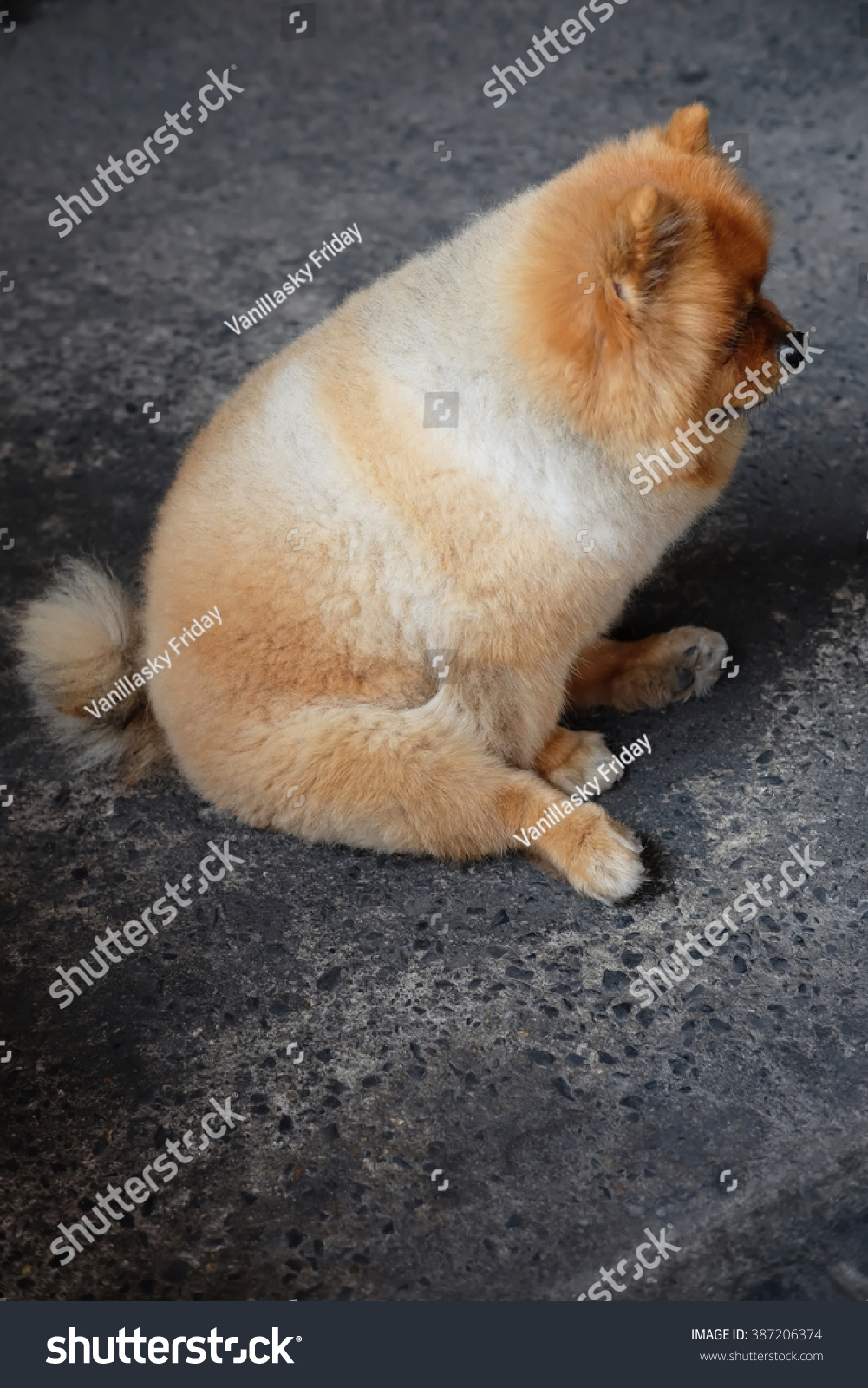 fat pomeranian side fat pomeranian dog stock photo 387206374 shutterstock 5800