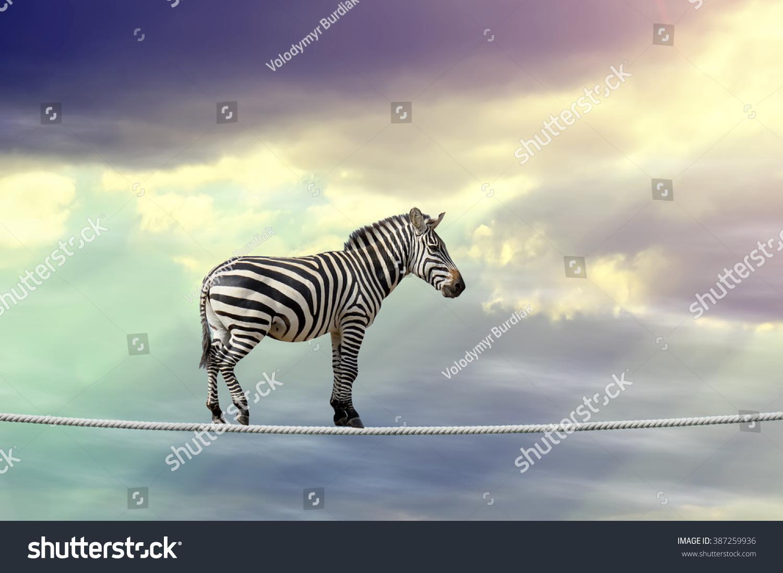 Zebra in sky walking on rope #387259936