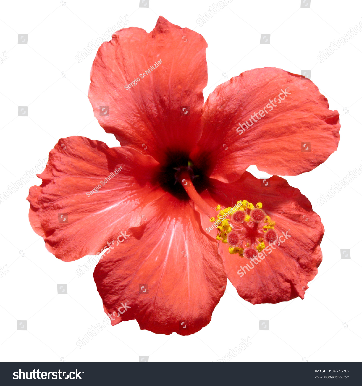 Red hibiscus flower known rosemallow hibiscus stock photo edit now a red hibiscus flower also known as rosemallow or hibiscus rosa sinensis isolated izmirmasajfo