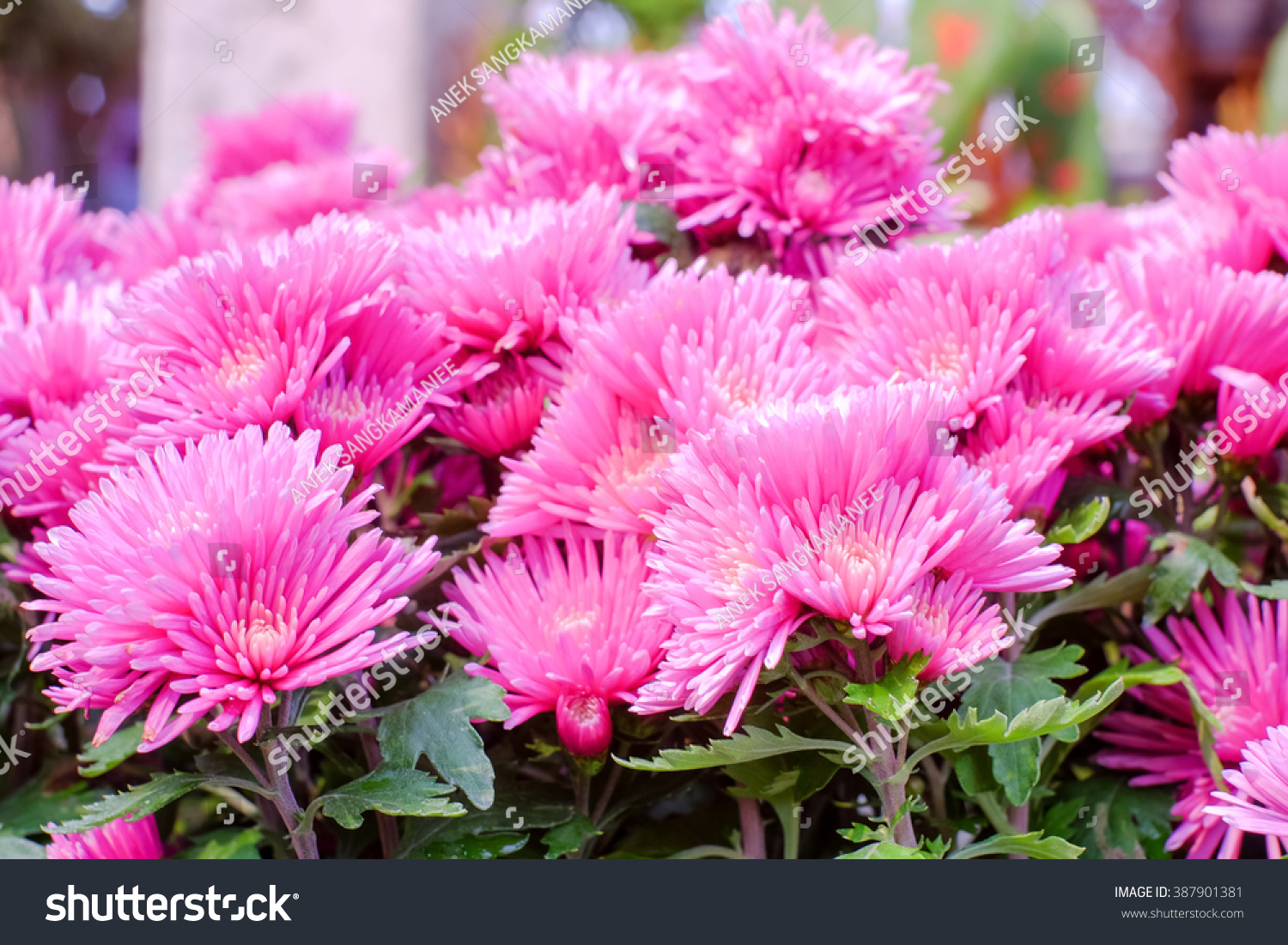 Selective Focus Of Pink Mum Flowers And Blurred Background Ez Canvas