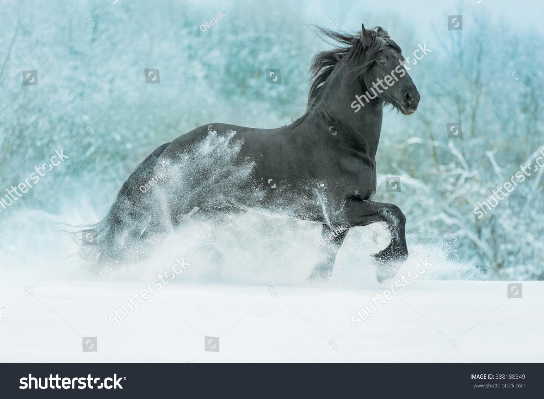 Beautiful Black Stallion Running Snow Meadow Stock Photo Edit Now 388188349