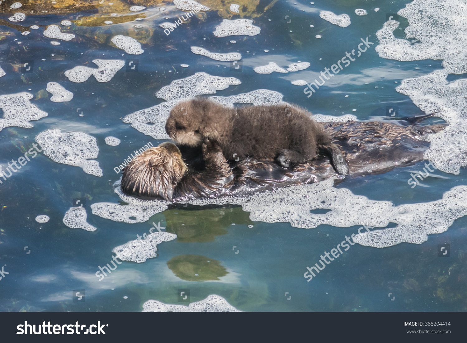 A wild mother Southern Sea Otter (Enhydra lutris) and her 2-day old newborn pup float in the water of a protected cove, in Monterey Bay, California. Footage available.