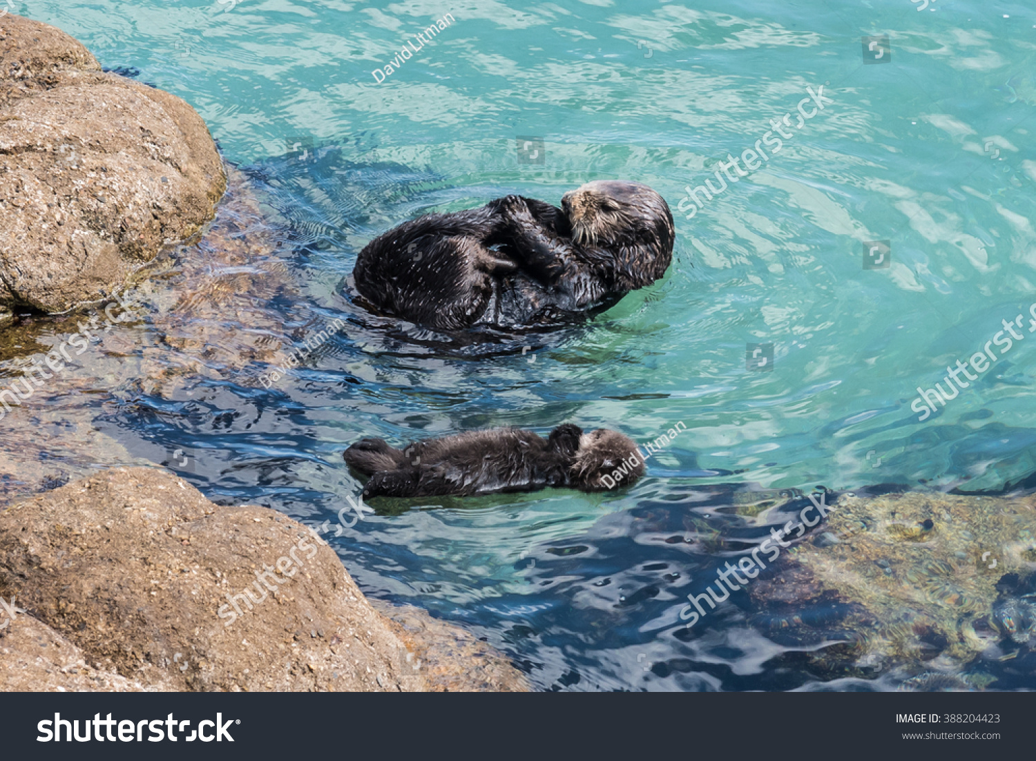 A wild mother Southern Sea Otter (Enhydra lutris) and her 1-day old newborn pup float in the water of a quiet cove, in Monterey Bay, California. Footage available.