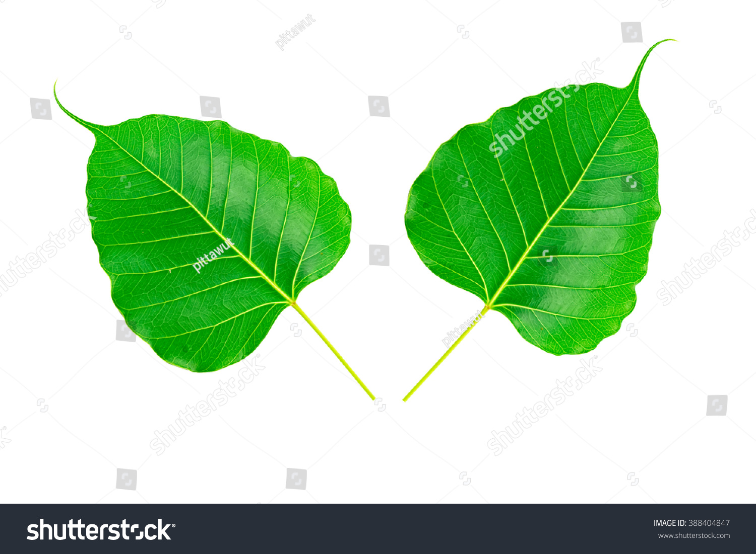 double sacred fig leaf ficus religiosa stock photo 388404847
