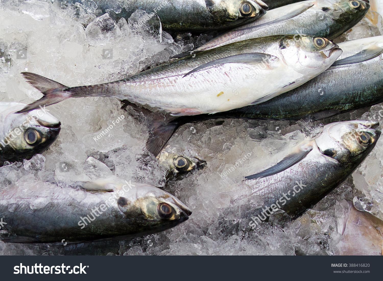 Eastern little tuna - photo#25