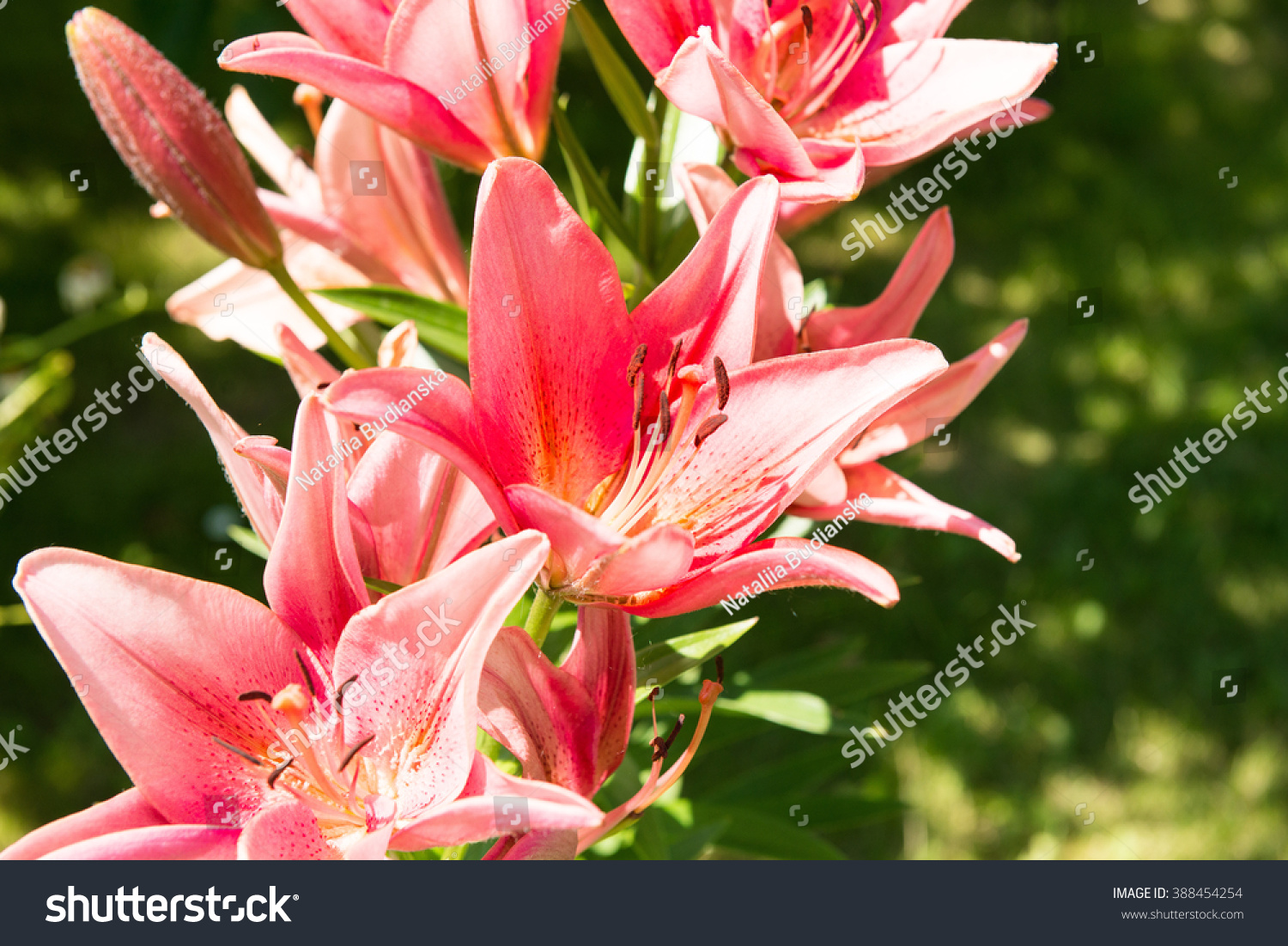 Royalty free lily at sunny summer day flowers in 388454254 stock lily at sunny summer day flowers in the garden common names for species in this genus include fairy lily rainflower zephyr lily magic lily stock photo izmirmasajfo