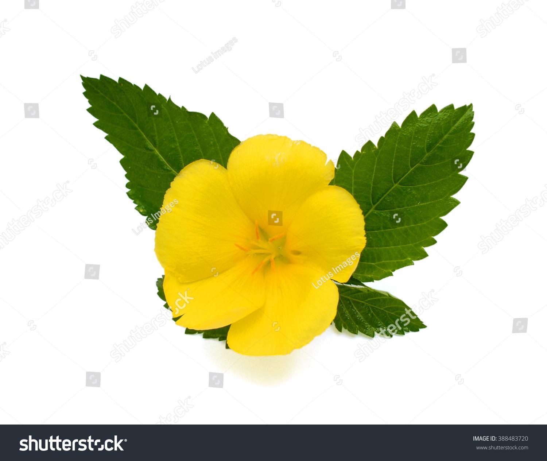Beautiful Yellow Sage Rose Flower On Stock Photo Edit Now