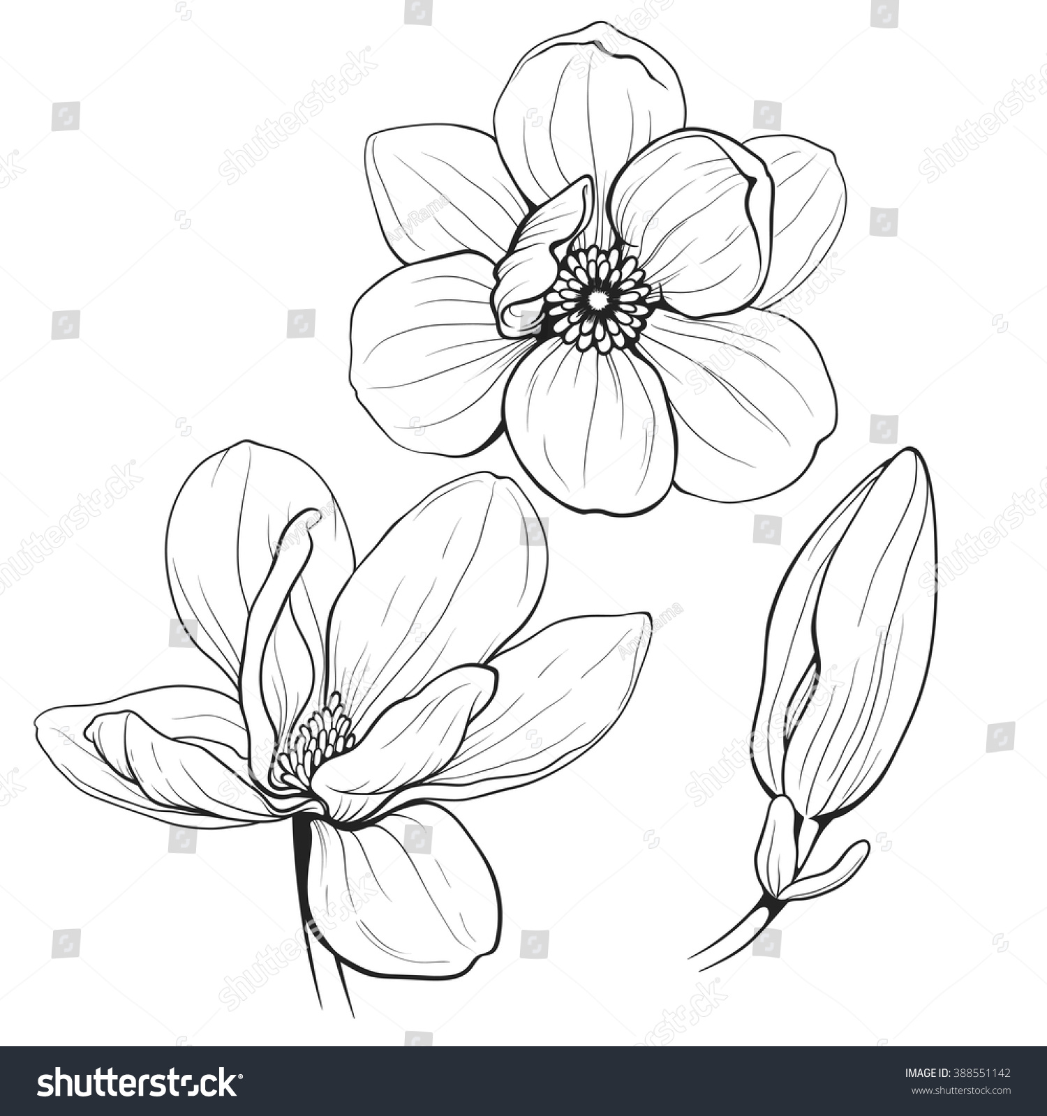 Magnolia Flower Line Drawing : Black white line illustration magnolia flowers stock