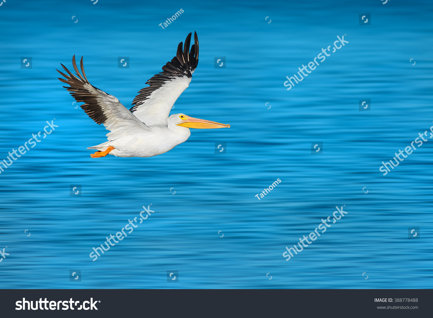 stock-photo-american-white-pelican-in-fl