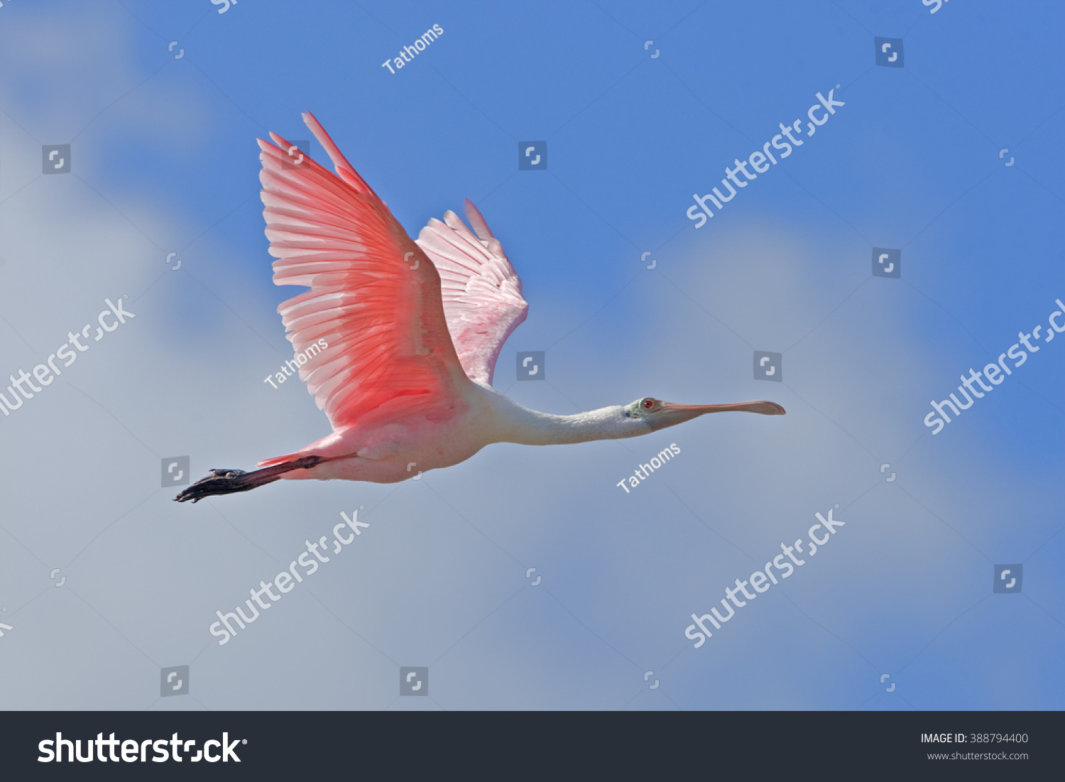 stock-photo-roseate-spoonbill-in-flight-