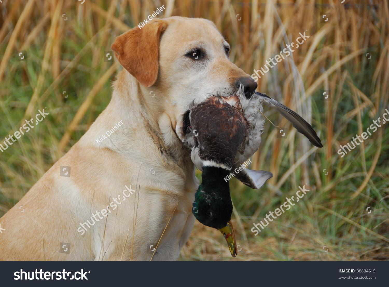 Hunting Yellow Labrador Retriever Stock Photo 38884615 ...  Hunting Yellow ...