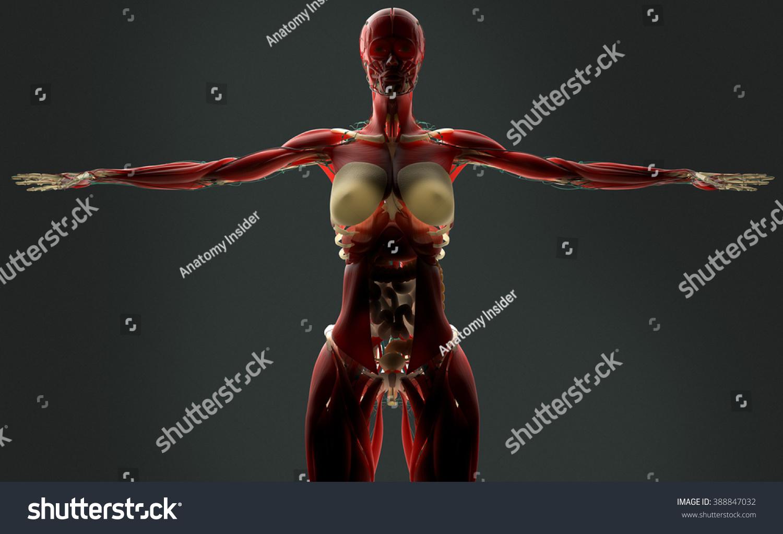 Human Anatomy Female Biology On Dark Stock Illustration 388847032