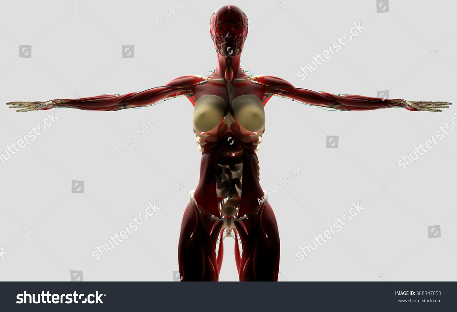 Human Anatomy Female Biology On Light Stock Illustration 388847053 ...