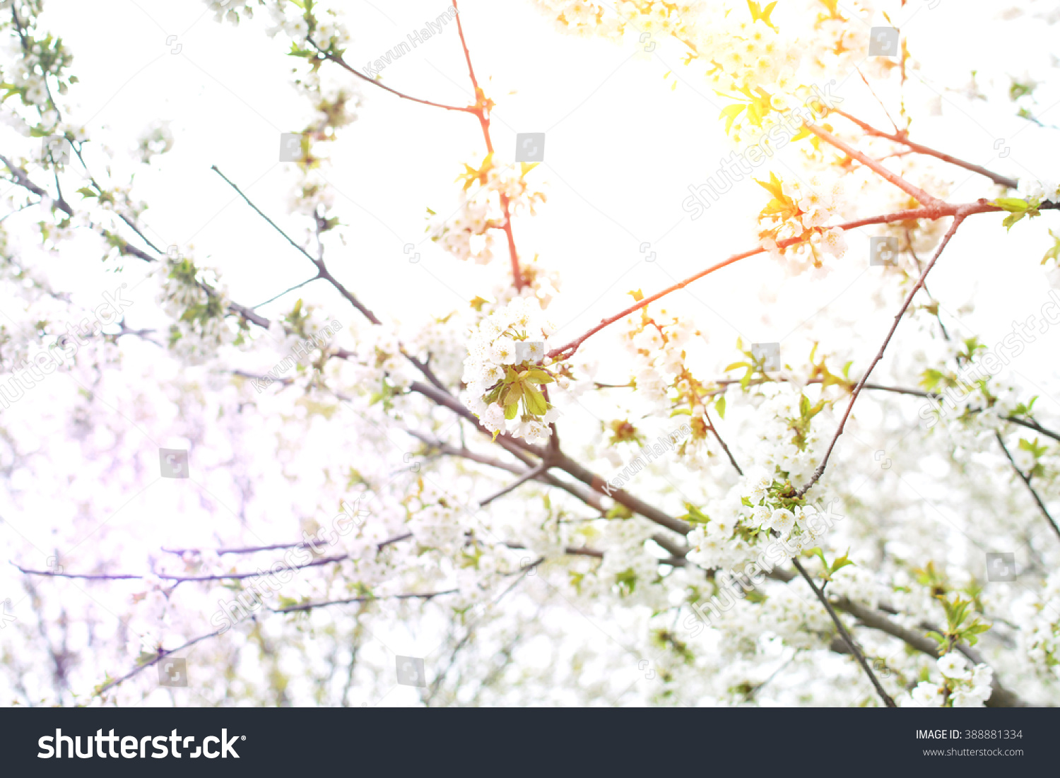 Royalty Free Cherry Tree Blooms And Sun In 388881334 Stock Photo