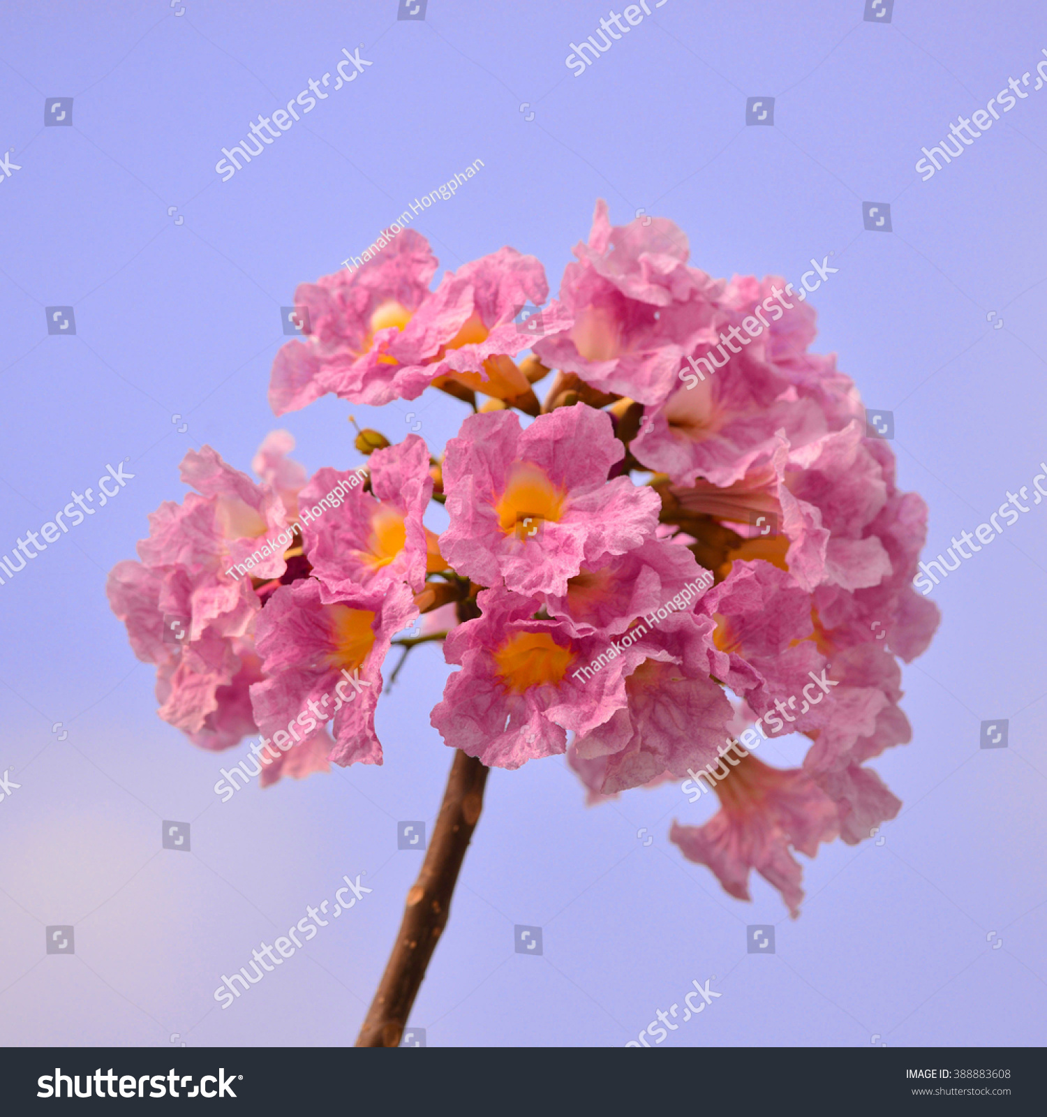 Royalty free tabebuia rosea is a pink flower 388883608 stock photo tabebuia rosea is a pink flower neotropical tree common name pink trumpet tree pink mightylinksfo