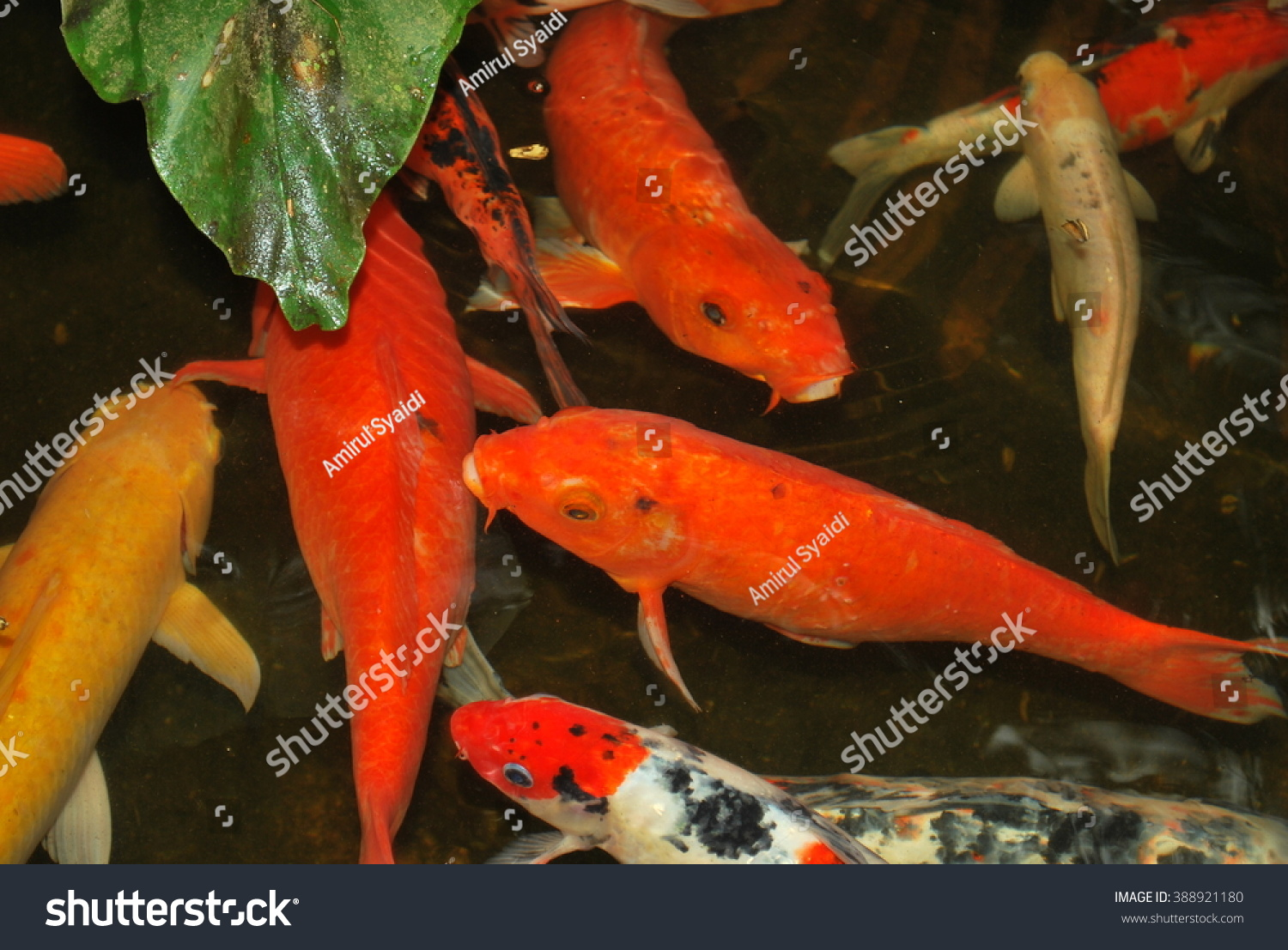 Red orange carp koi fish garden stock photo 388921180 for Orange coy fish