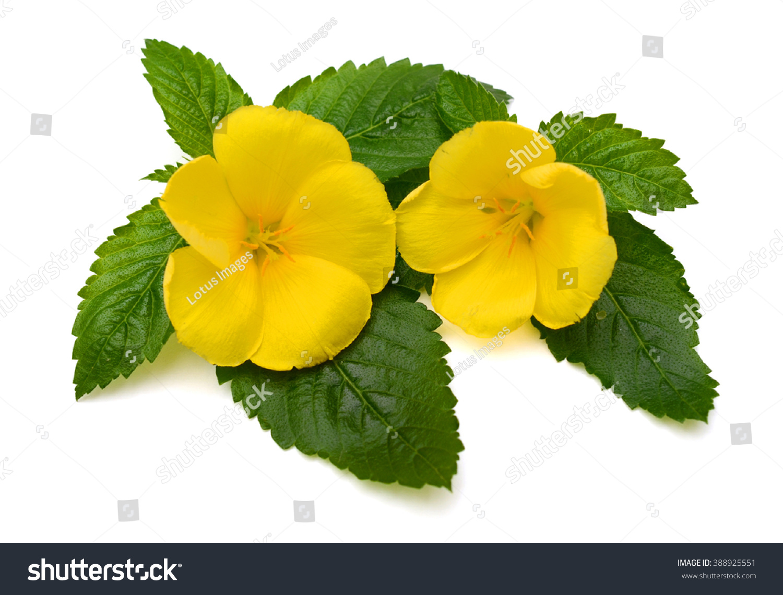 Beautiful Yellow Sage Rose Flower Isolated On White Background Ez
