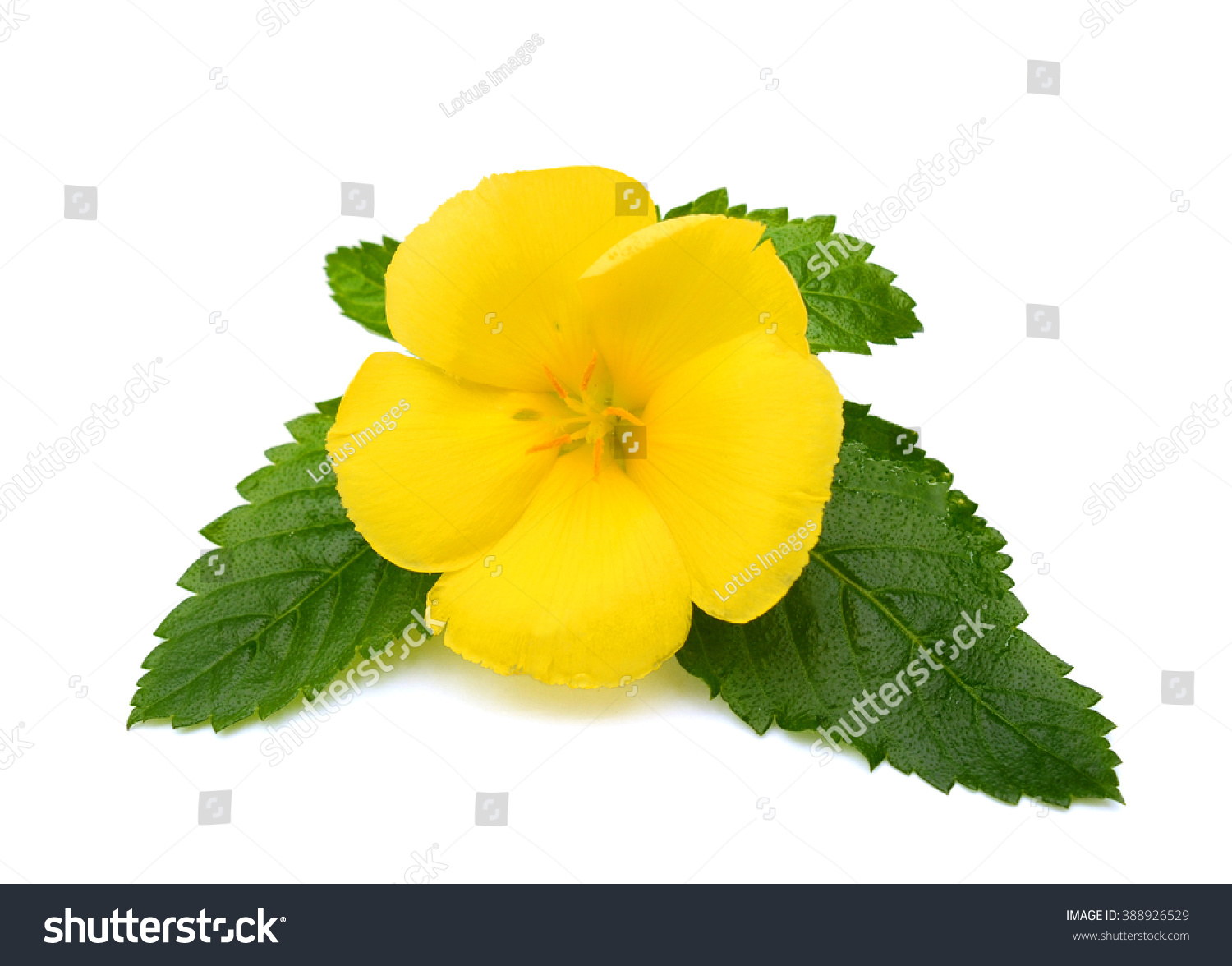 Beautiful yellow sage rose flower isolated on white background ez beautiful yellow sage rose flower isolated on white background ez canvas mightylinksfo