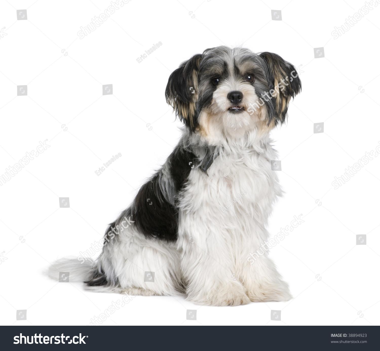 Bastard Dog Sitting Front White Background Stock Photo
